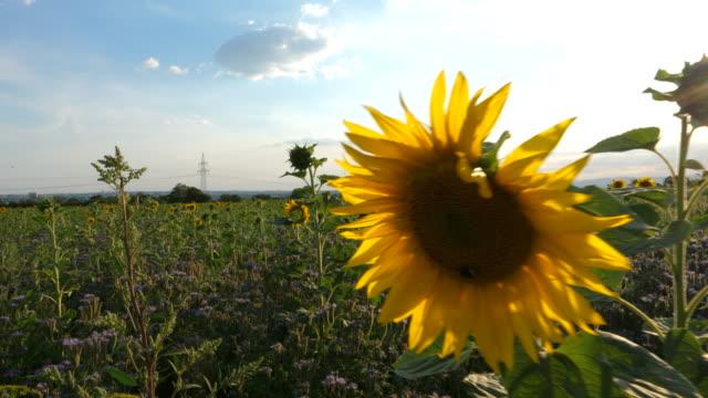 sunflowers on a field - центральная европа стоковые видео и кадры b-roll