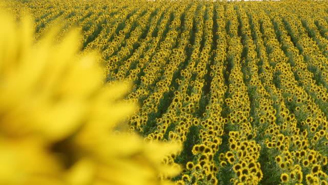 stockvideo's en b-roll-footage met ds zonnebloemen wuivende in de wind - floral line