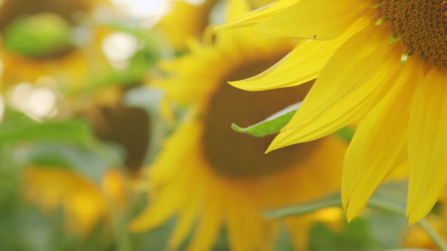 Sunflowers swaying in the wind.