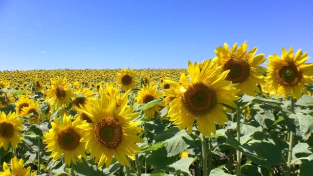 sunflowers - sunflower стоковые видео и кадры b-roll