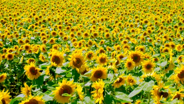 sunflowers - естественное условие стоковые видео и кадры b-roll