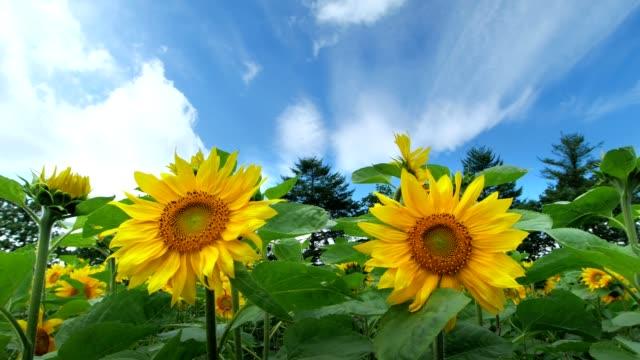 向日葵 - 非都市風光 個影片檔及 b 捲影像