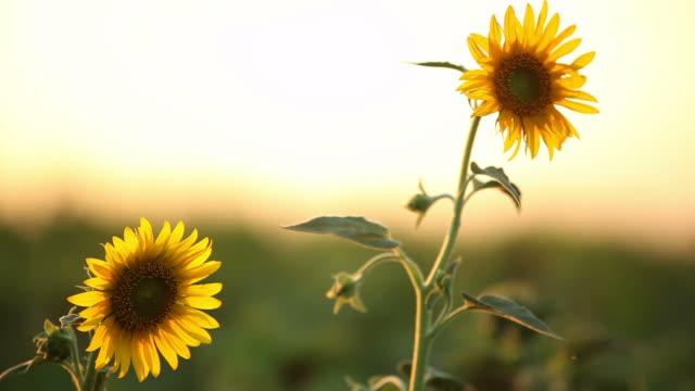 Sunflowers video