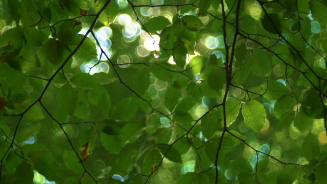 Sunlight And Fresh Green Tree Leaves. Sunbeams in the forest.