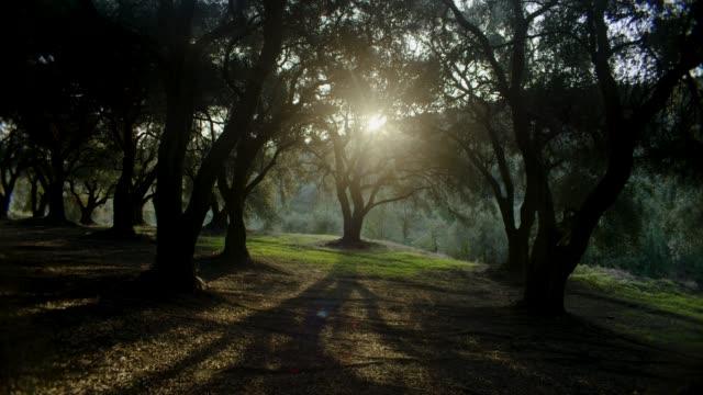 vidéos et rushes de la lumière du soleil ne traverse les oliviers - olivier