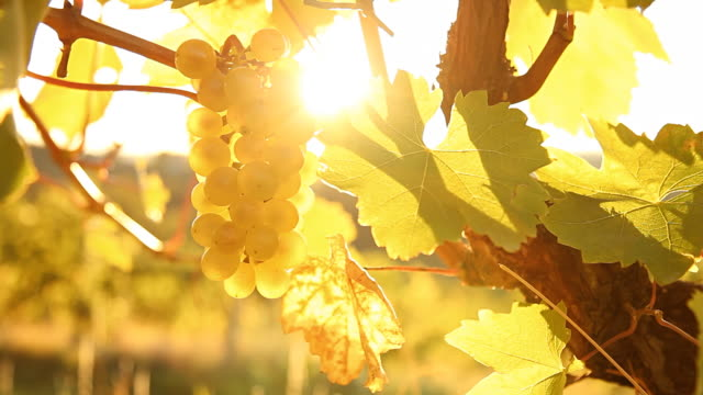 HD DOLLY: Sunlight Coming Through Grape In Vineyard video