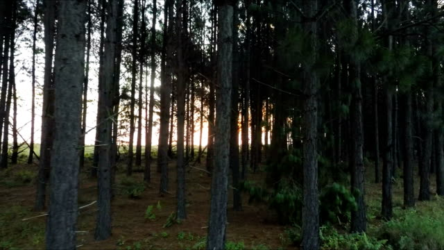 Sunlight glinting through forest landscape, Mpumalanga, South Africa video