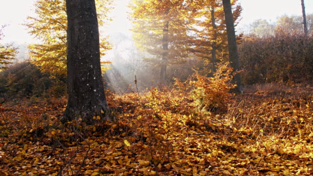 SLO MO Sunlight illuminating autumn forest video