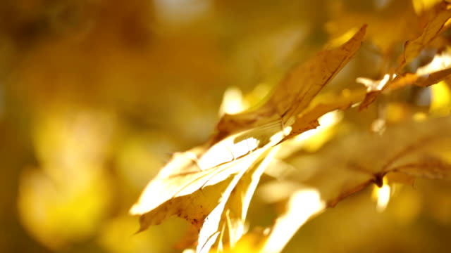 sunlight on yellow leaves on tree branch video