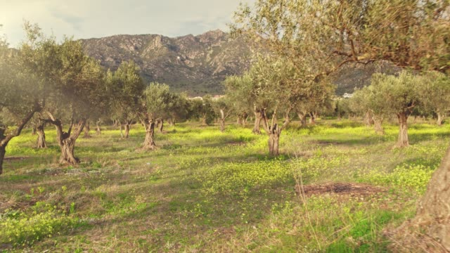 Sunlight over Olive tree grove Real time video of sunset over Olive tree grove. olives stock videos & royalty-free footage