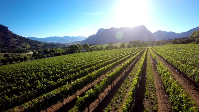 太陽の光を、ブドウ園 - 南アフリカ共和国点の映像素材/bロール