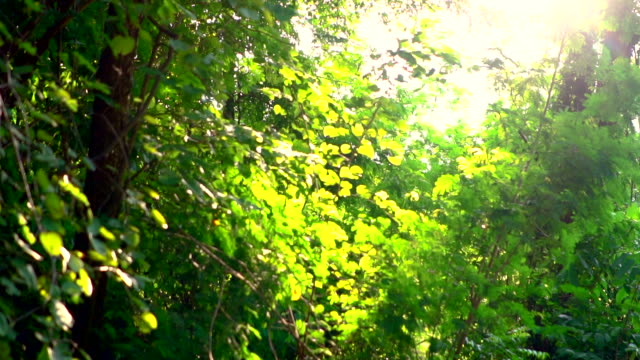 Sunlight seen through trees and leaves video