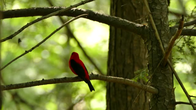 Sunlight shining behind red and black bird vocalizing in mixed forest