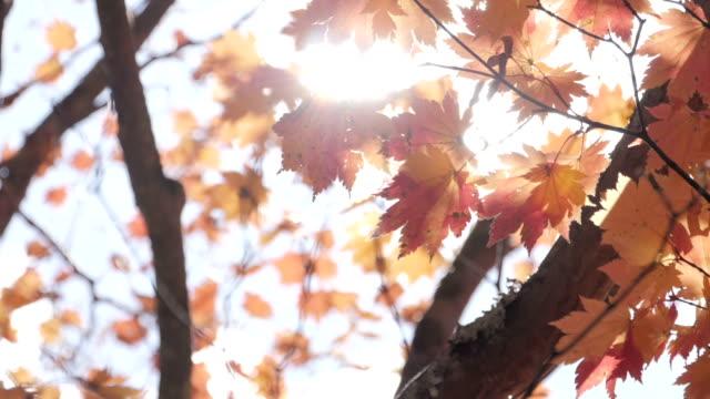 sunlight shining through maple autumn tree at park - ноябрь стоковые видео и кадры b-roll