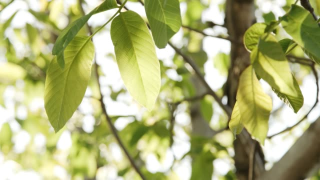 sunlight streaming through leaves - pinacee video stock e b–roll