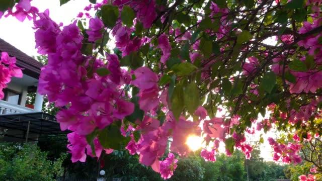 Sunlight through Bougainvillea flowers bush