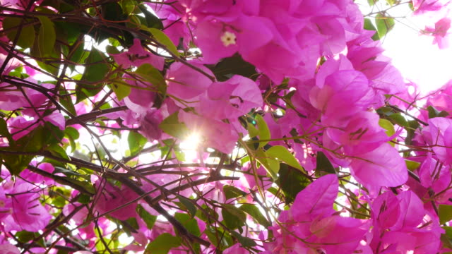 Sunlight through Bougainvillea flowers bush video