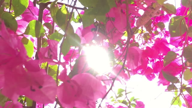 Sunlight through Bougainvillea flowers bush Sunlight through Bougainvillea flowers bush daylight savings stock videos & royalty-free footage