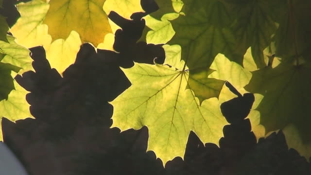 Sunlight Through Maple Leaf Sunlight shows veins in translucent autumn maple leaves. maple leaf videos stock videos & royalty-free footage