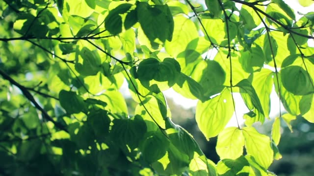 Sunlight through summer leaves with fresh green leaves and trees
