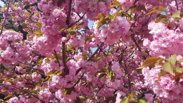 Sunlight touches sakura branchlet in morning sunrise video