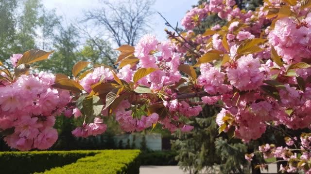 Sunlight touches sakura branchlet in morning sunrise. video