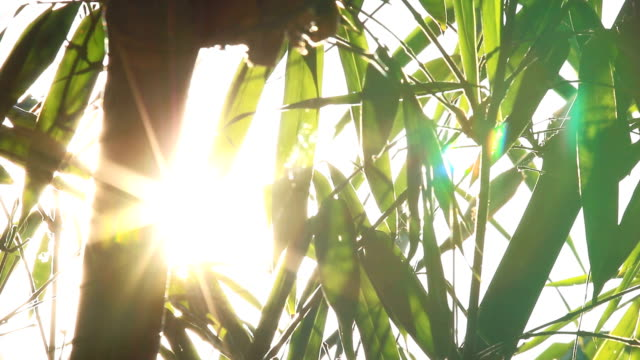 sunlight with bamboo video