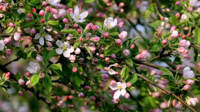 Sunlit apple pink blossom buds and new green leaves, waving in the spring light wind. video