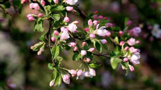 Sunlit apple twig with pink blossom buds and new green leaves, trembling in the spring light wind on blur background. video