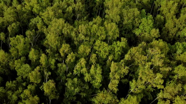 Sunlit birch grove from above. Shot from drone flying above green treetops video