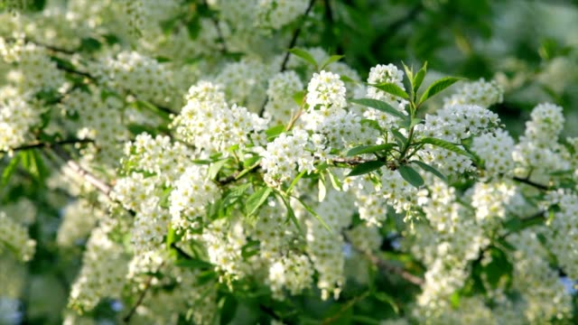 Sunlit bird cherry blossom with white petals and yellow stamens, waving in the spring light wind. video