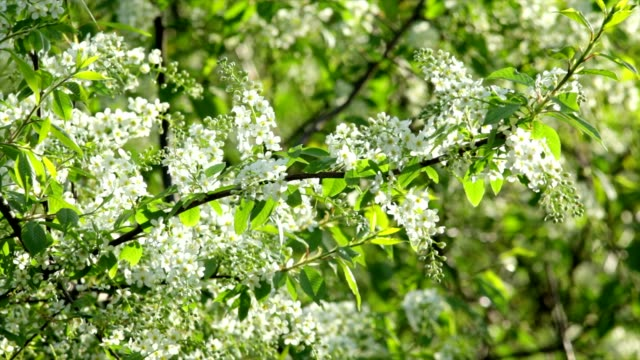 Sunlit bird cherry white blossom trusses with yellow stamens, waving in the spring light wind on blur background. video