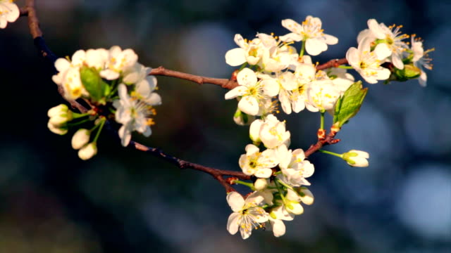 Sunlit cherry twig of white blossom trusses with yellow stamens and new tiny green leaves, waving in the spring wind on very blur blue background. video