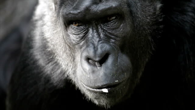 Sunlit chewing face of a gorilla female on dark background. video