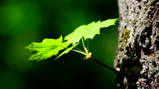 Sunlit maple sprout with new green leaves on tree trunk. video