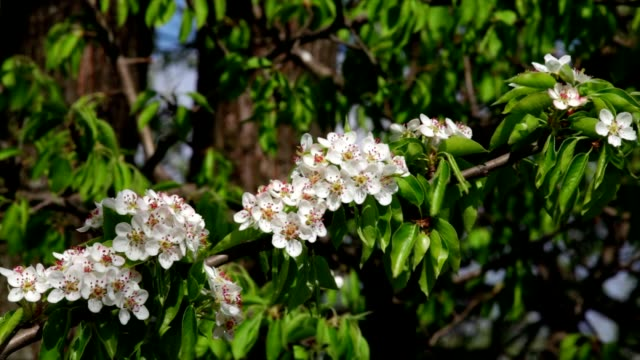 Sunlit pear blossom with new leaves, shaking in the spring light wind on bright background. video