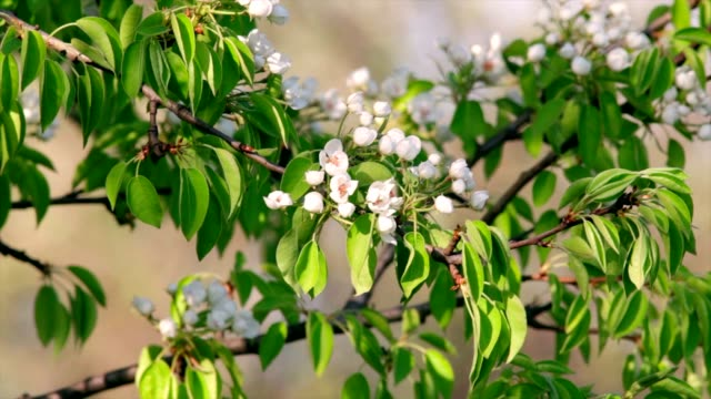 Sunlit pear white blossom with orange stamens and new green leaves, waving in the spring light wind. video