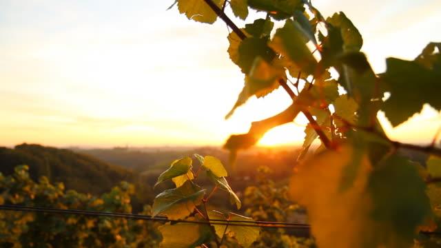 HD DOLLY: Sunlit Vine Leaves video