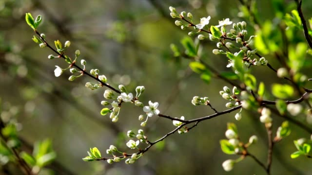 Sunlit white cherry blossom buttons with new green leaves. video