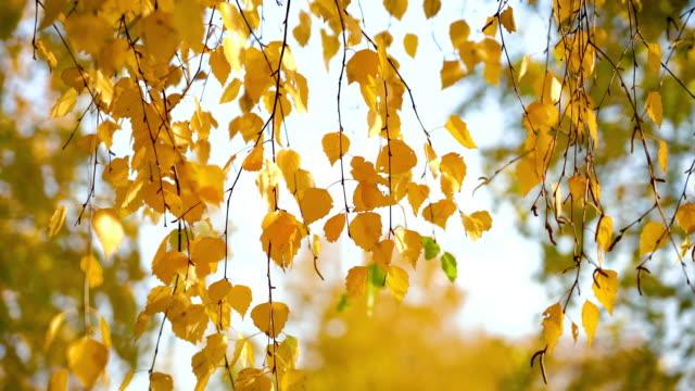 vídeos de stock, filmes e b-roll de folhas ensolaradas do vidoeiro do outono sobre o céu azul - bétula