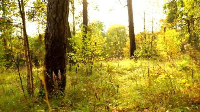 Sunny autumn forest and fallen leaves, back view, smooth steadicam shot video
