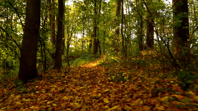 Sunny autumn forest and fallen leaves, front view, smooth steadicam shot video