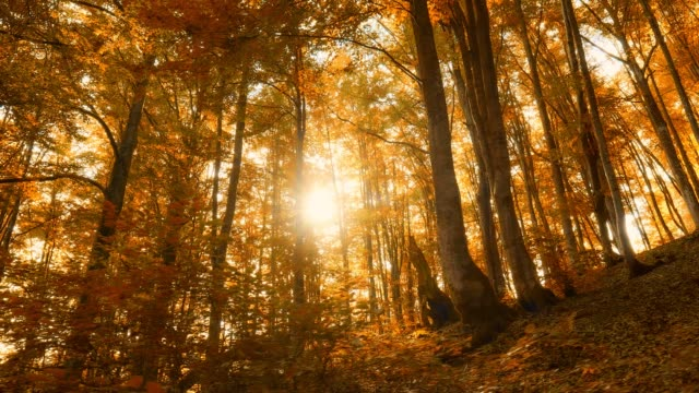 sunny autumn forest in the mountains. walking along the autumn trees with orange leaves. the setting sun breaks through the fall foliage. gimbal shot - дубовый лес стоковые видео и кадры b-roll