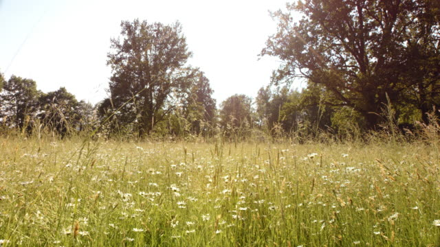 SLO MO Sunny blossoming summer meadow with high grass video