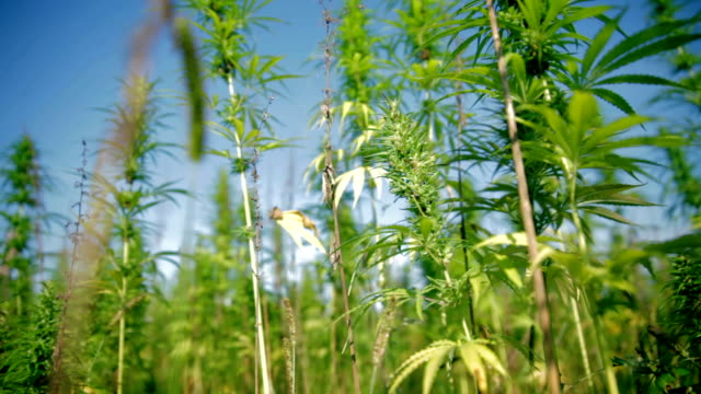 HD: Sunny cannabis plant field HD1920x1080: High quality produced HD Stock Footage Clip of Industrial cannabis field and single hemp plants shots  from different angles while shaking in the wind on a sunny day near the roadside. hashish stock videos & royalty-free footage