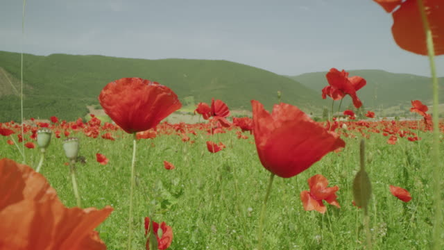 WS Sunny mountain meadow with vibrant red poppy wildflowers, Castelluccio, Umbria, Italy