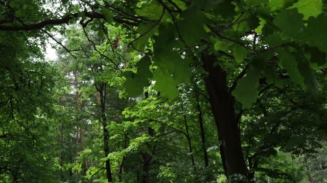 sunny summer forest - дубовый лес стоковые видео и кадры b-roll