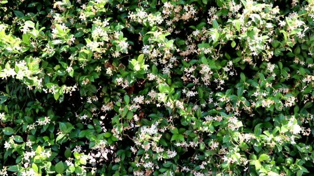 Sunny White Jasmine Flowers Outside video