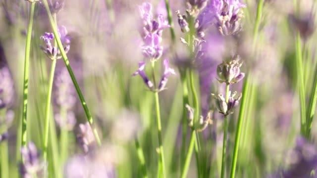 cu sunny,purple lavender plant - rack focus video stock e b–roll
