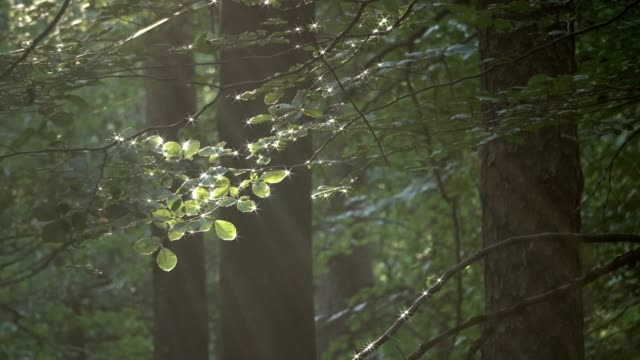 Sunrays in the foliage forest, beech grove, deciduous forest, fagus, Buchenwald, Spessart, 4K – film